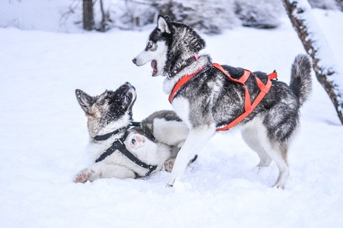 how do dogs stay warm in winter