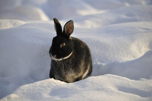 Various Measures Rabbits Employ To Keep Warm