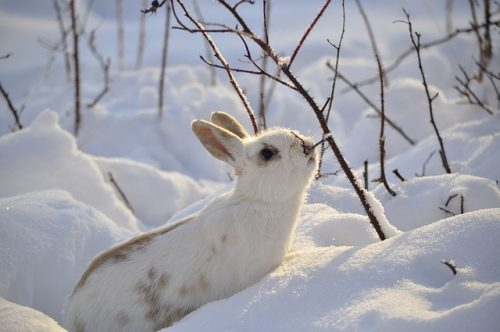 How Do Rabbits Stay Warm In Winter?