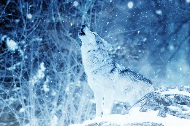 How Do Wolves Stay Warm In The Winter 1