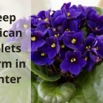 keep African violets warm in winter